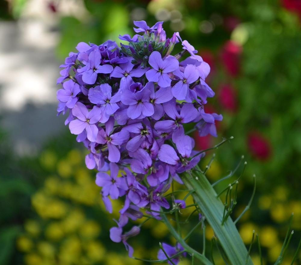 цветок ночная фиалка посадка и уход