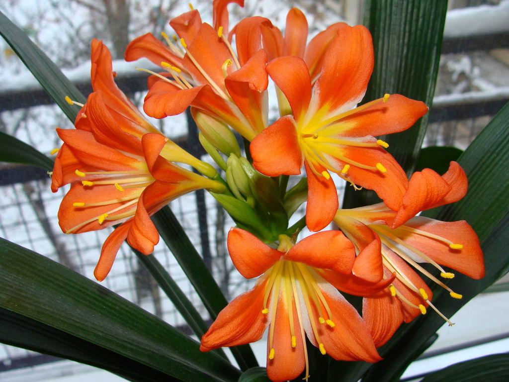 домашний цветок кливия