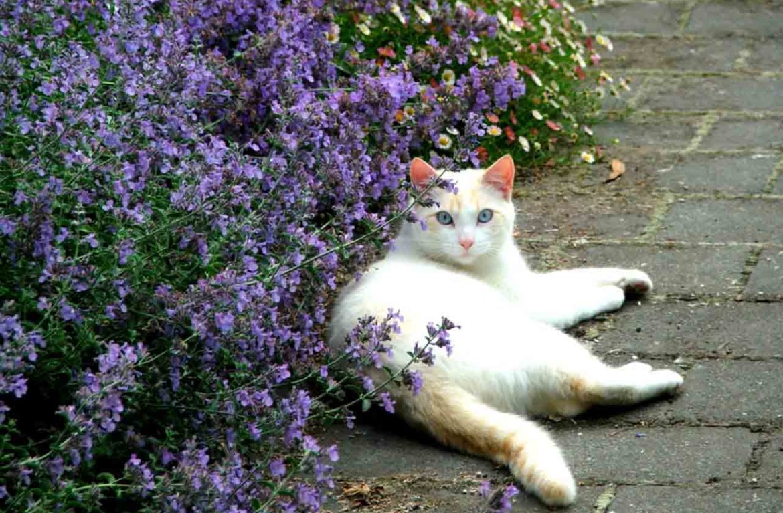Котовник кошачий