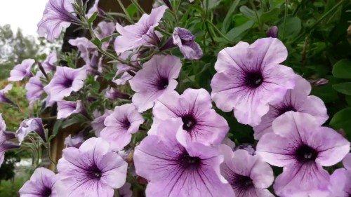 петуния чем подкормить для цветения