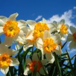 Нарциссы: посадка и уход в открытом грунте, размножение и болезни