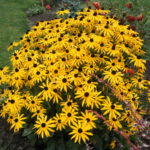 Рудбекия многолетняя: посадка и уход в открытом грунте, сорта и выращивание