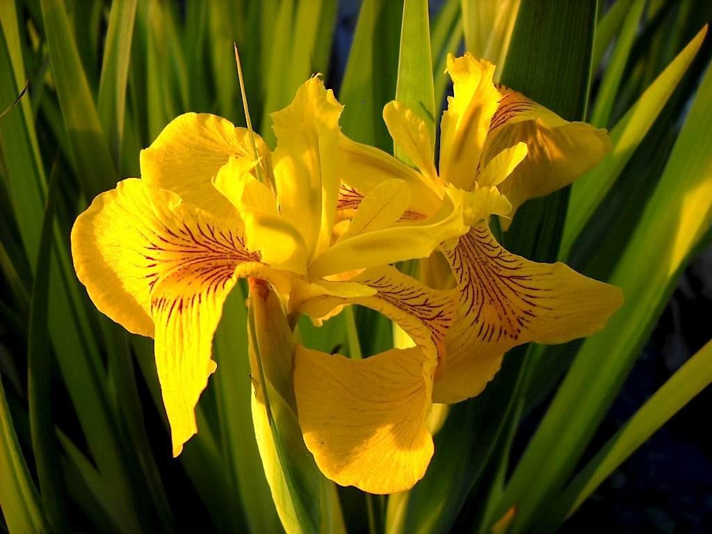 Желтый (болотный) Ирис
