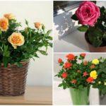 Комнатная роза: уход и выращивание в домашних условиях, сорта и болезни