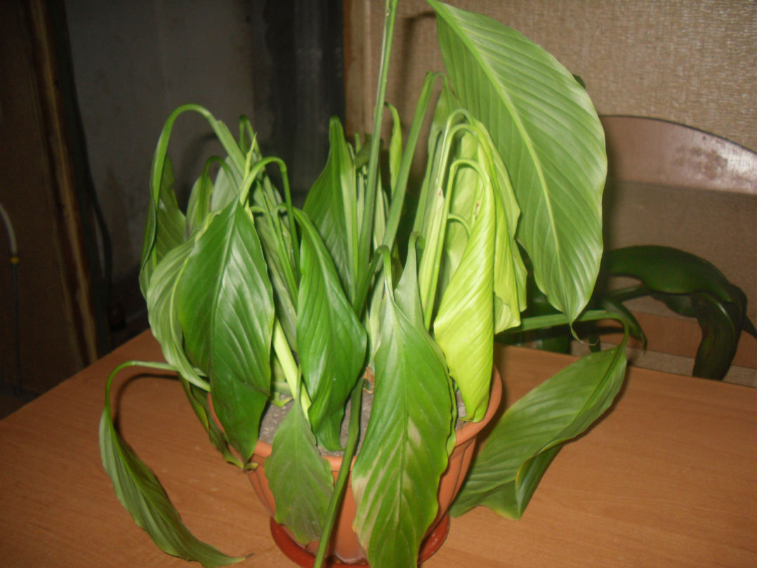 спатифиллум листья болезни