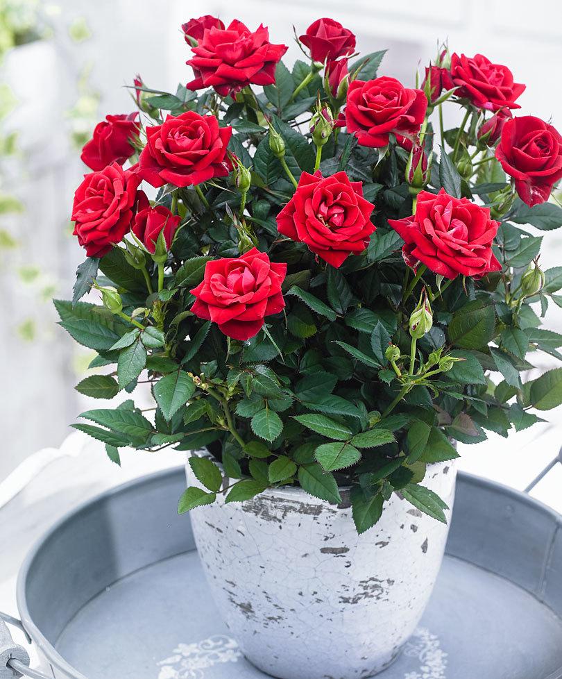 Уход за розой в домашних условиях