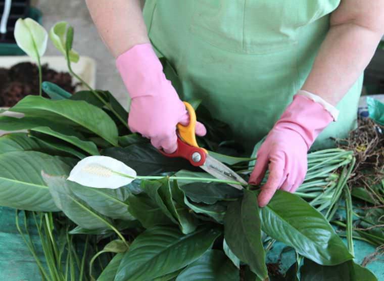 спатифиллум обрезка листьев