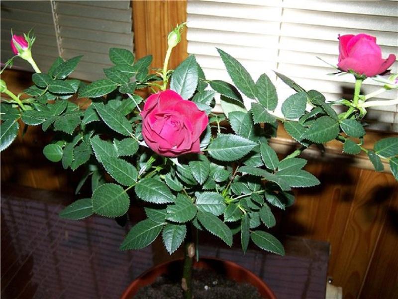 Размножение комнатной розы