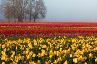 Тюльпаны: посадка и уход в открытом грунте, выращивание и сорта