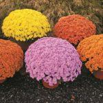Хризантемы: посадка и уход в открытом грунте, сорта и болезни