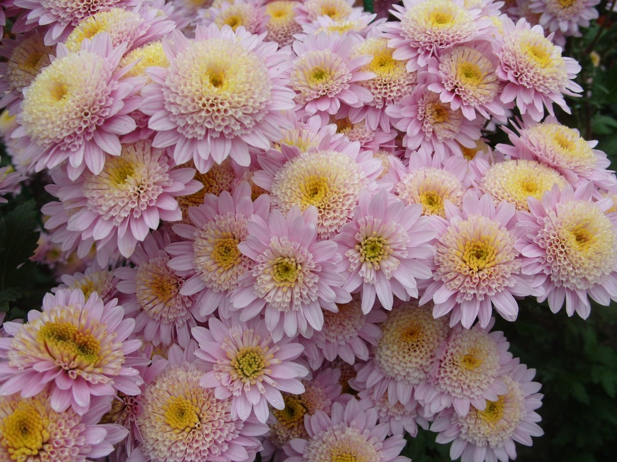 хризантемы садовые многолетние посадка и уход