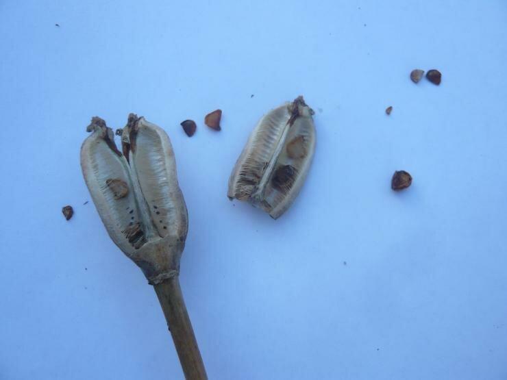Размножение семенами тюльпанов