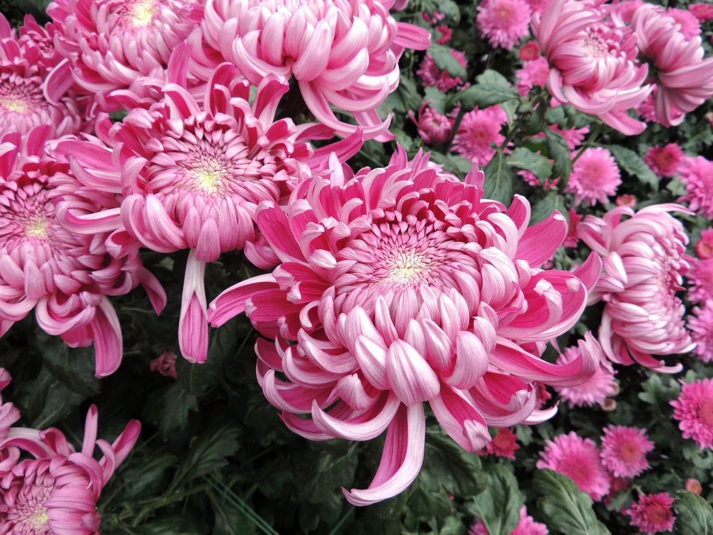 Поздноцветущие хризантемы