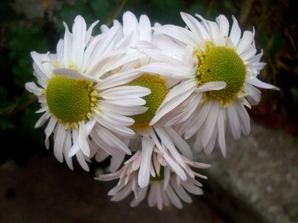 Хризантема полевая