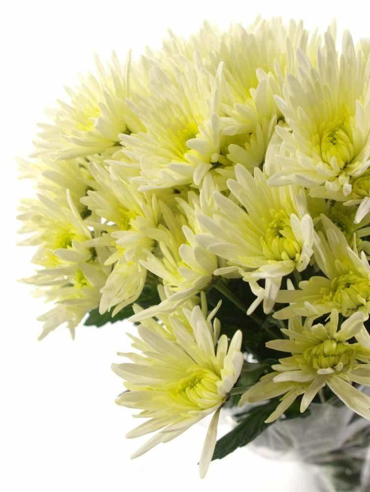 Раннецветущие хризантемы
