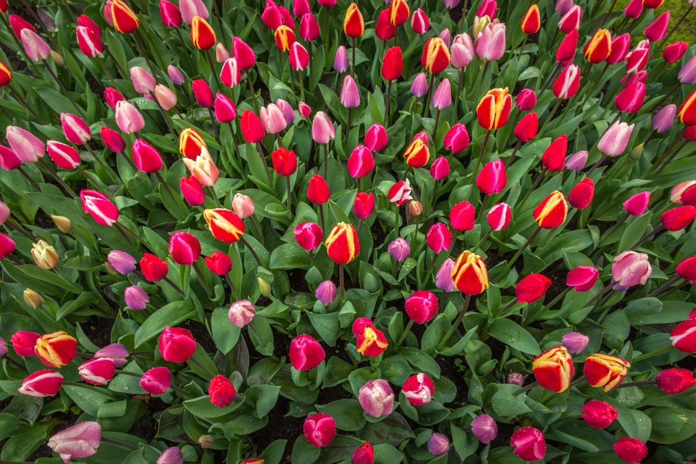 тюльпаны уход в открытом грунте