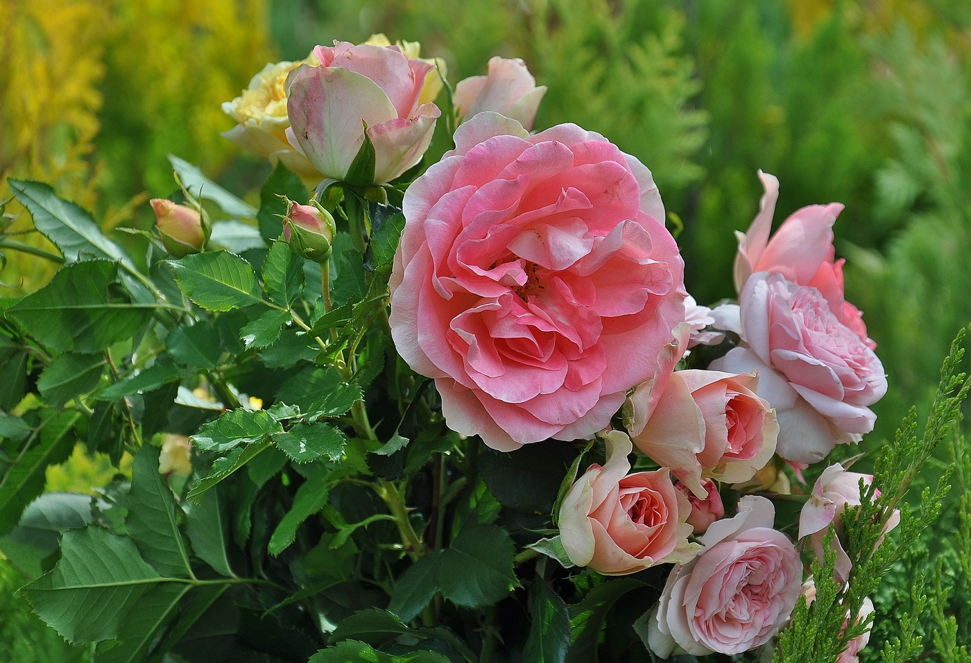 розы уход в открытом грунте
