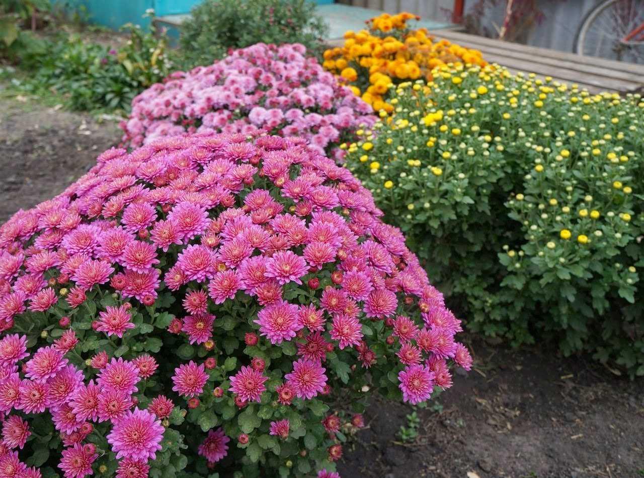 Подкормка хризантемы