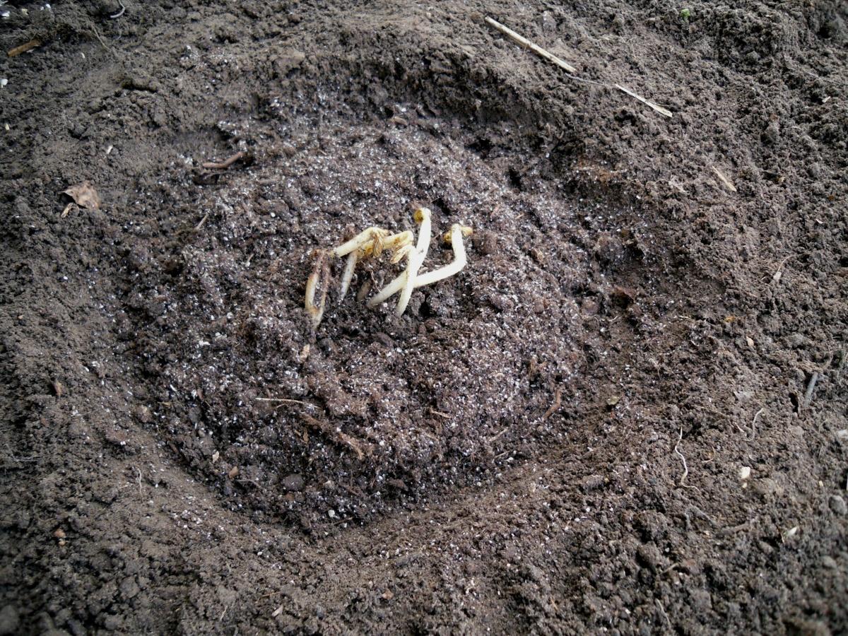 Посадка астильбы в открытый грунт