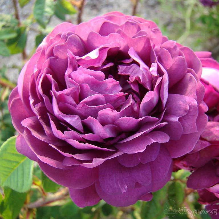 Галльские розы