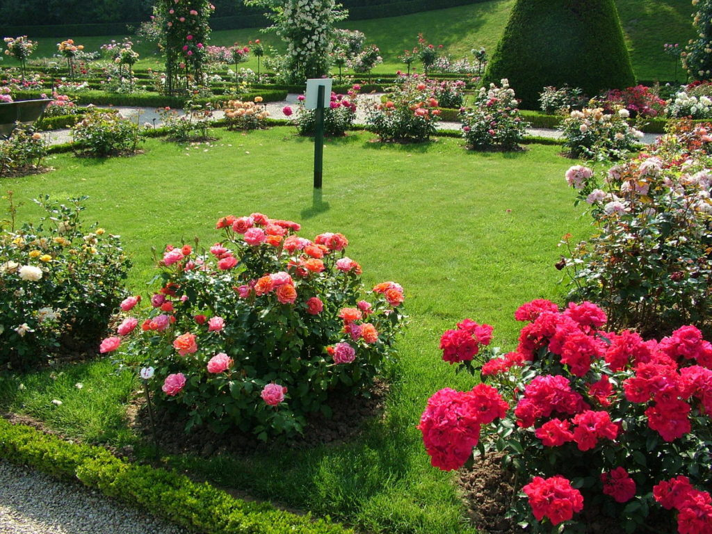 розы посадка и уход в открытом