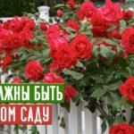 Садовые розы: посадка и уход в открытом грунте, виды и размножения