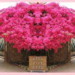 Бугенвиллия: выращивание и уход в домашних условиях, сорта и размножение