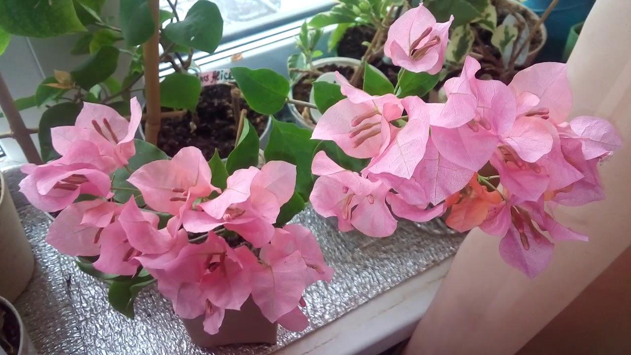 комнатный цветок бугенвиллия уход