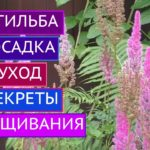 Астильба: посадка и уход в открытом грунте, сорта и размножение