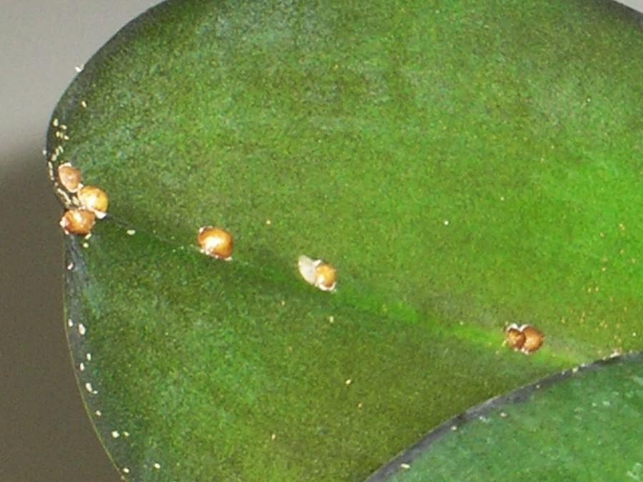 щитовка на домашних растениях