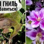 Как избавиться от серой гнили на растениях