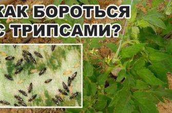 Как избавиться от трипсов на комнатных растениях