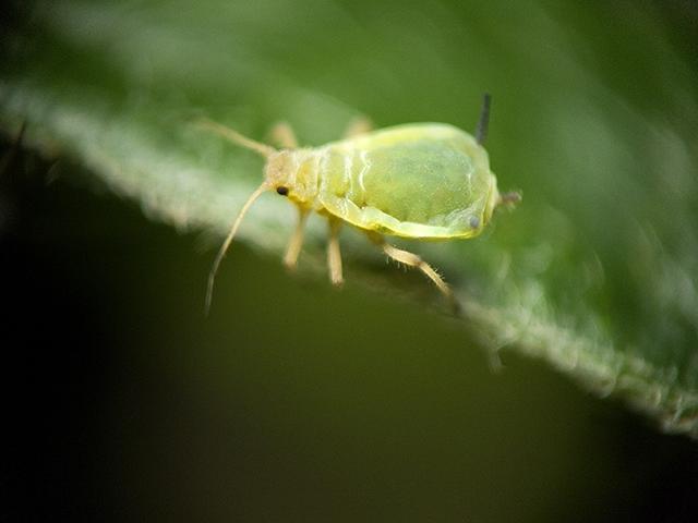 Яблонная зеленая тля