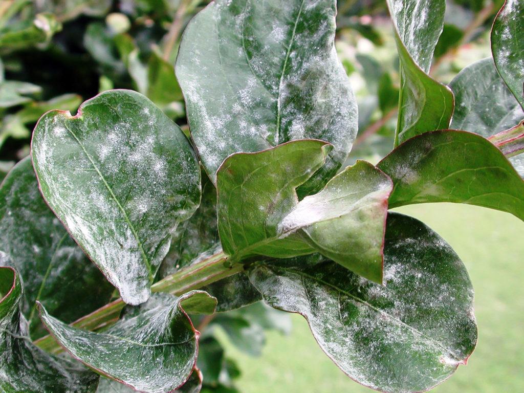 как избавиться от мучнистой росы