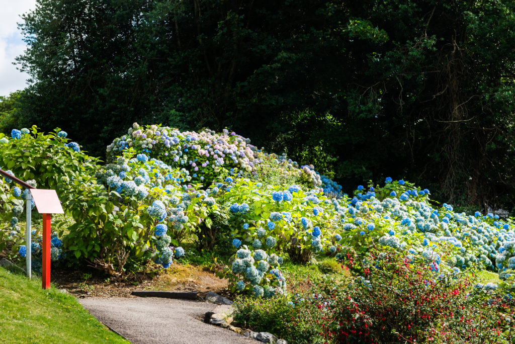 Уход за гортензией в саду