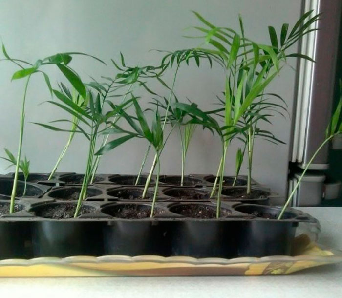хамедорея размножение в домашних условиях