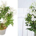 Комнатный жасмин: уход и выращивание в домашних условиях