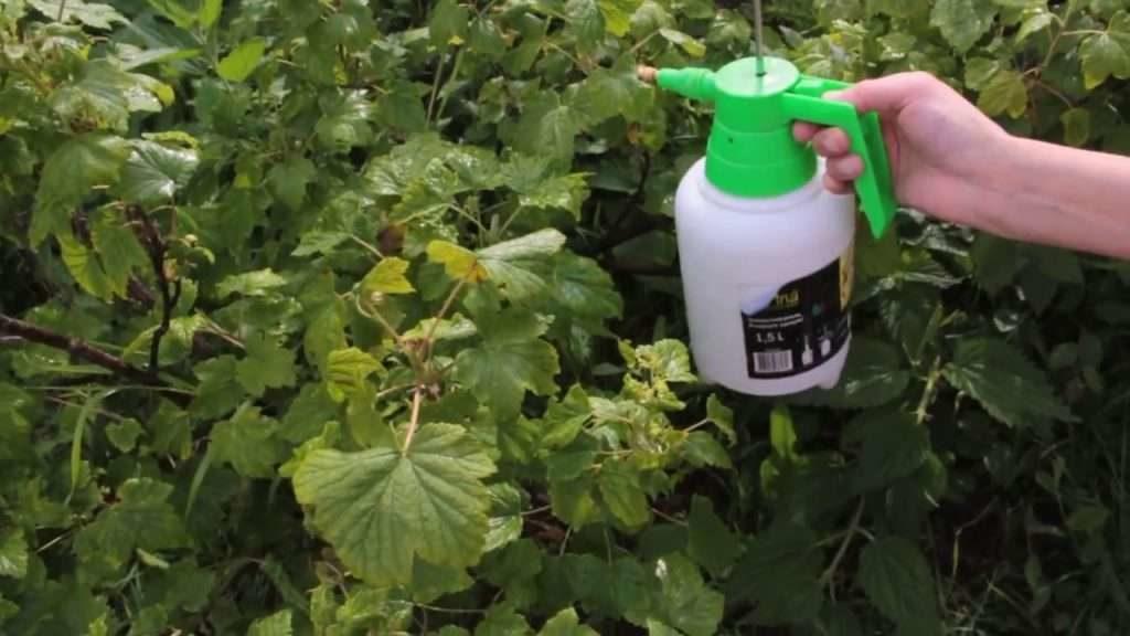 Как бороться со ржавчиной на растениях
