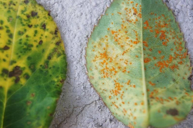 ржавчины на листьях
