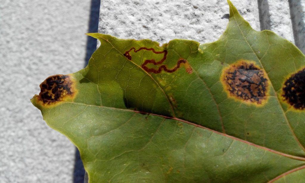 ржавчина листьев лечение