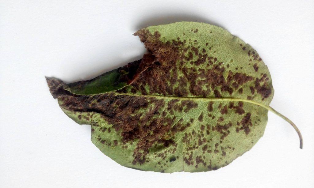 Из-за чего появляется ржавчина на растениях