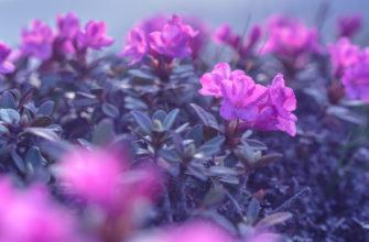 Рододендрон: посадка и уход в открытом грунте, сорта и размножение