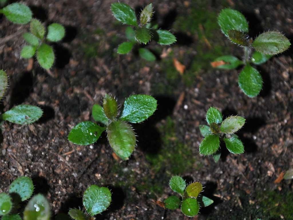 рододендрон выращивание