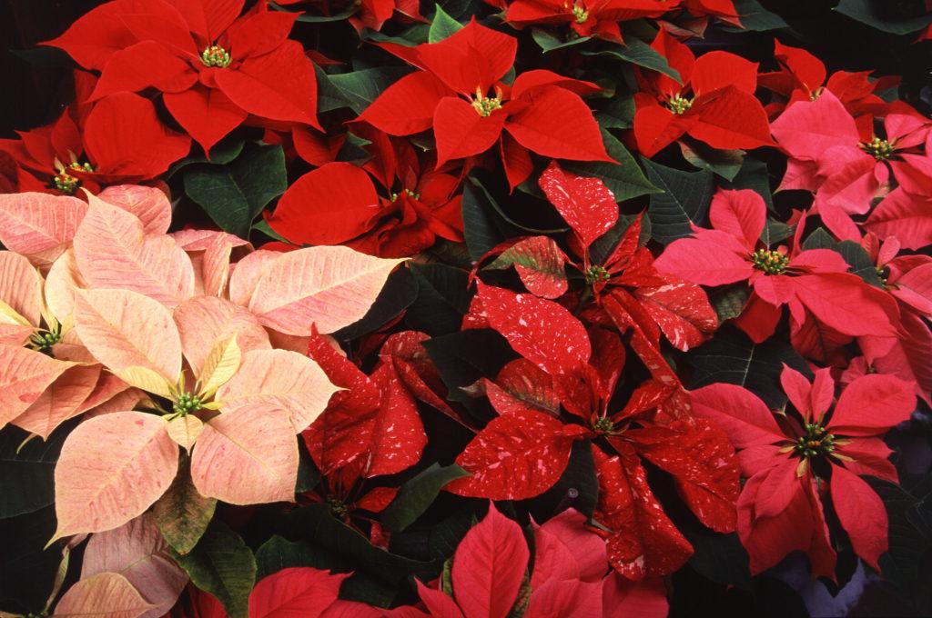 пуансеттия после цветения
