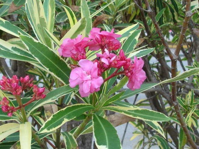 цветок олеандр уход