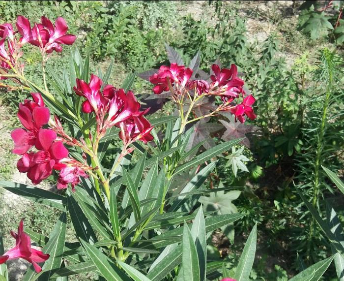 Красный олеандр
