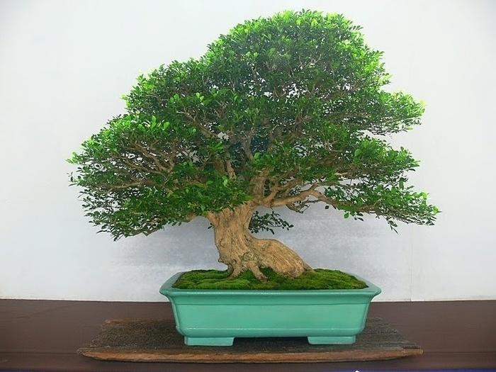 дерево мурайя