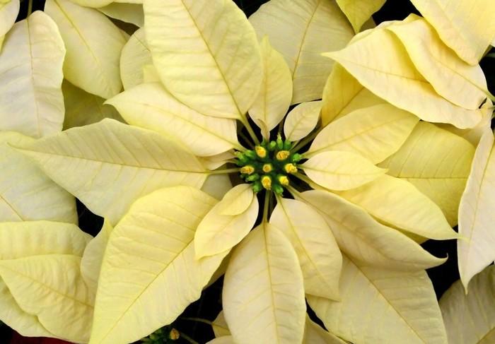 пуансеттия желтая фото