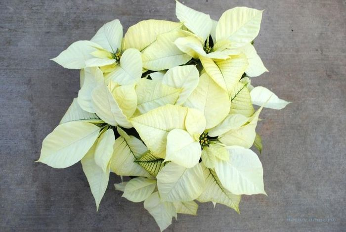 пуансеттия белая цветок
