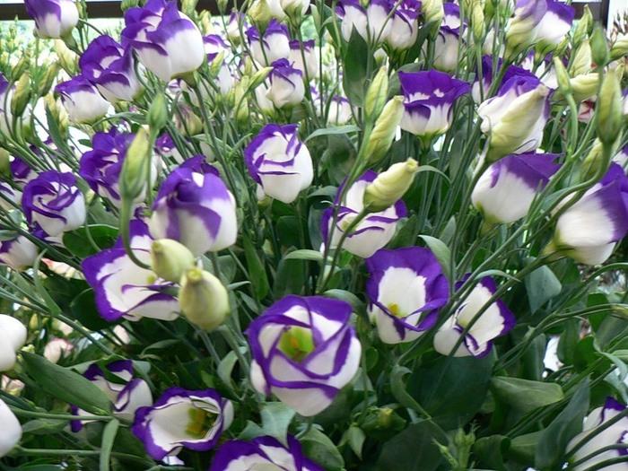 эустома от посева до цветения